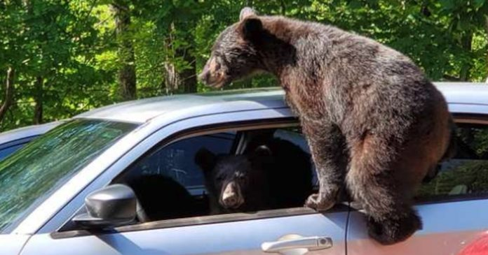 Man Rushes Outside And Is Surprised To See A Family Of Bears Trying To Steal His Car