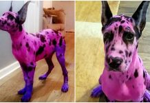 Owner Wanted Her Great Dane To Appear 'More Approachable' – So She Dyed Her Pink
