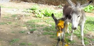 Mama Donkey Begs People To Help Save Her Wounded Baby, Her Prayers Are Answered
