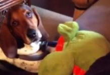 Dog Secretly Caught Showing His Sweet Side Turns Tough