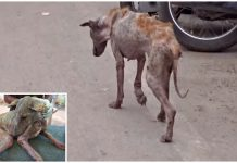 Dog Resembling A Walking Skeleton Roamed The Streets And Hung Her Head In Shame