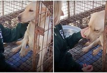 "Awaiting Slaughter At Meat Farm, Dog Gently Lifts Her Paw As A ""Thank You"" To Her Saviors"