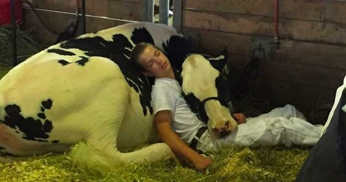 Teen And Cow Take A Nap Together And Melt Millions Of Hearts