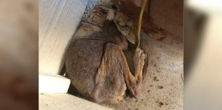 Woman finds coyote on her doorstep
