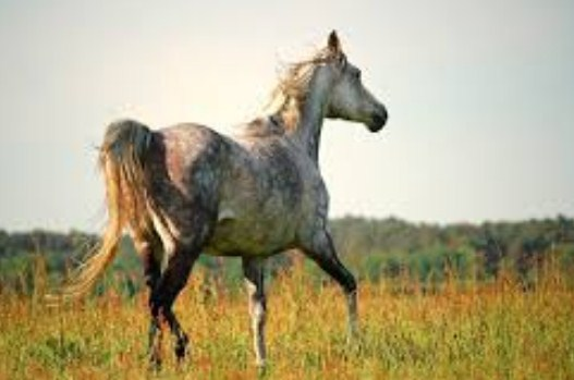 Thoroughbred horse in America