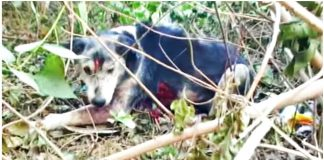 Stray Dog Tired of Fighting for Her Life Hides Behind Bushes Awaiting Death