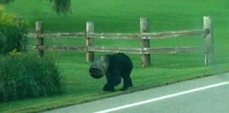 Rescuers Help Bear Who Had Bucket Stuck On His Head For A Month