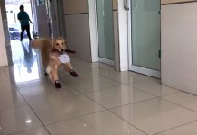 Cute Golden Retriever Treats the Vet's Office as if It's the Playground