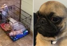 Pug Tricks His Sister Into Her Crate And Then Locks It