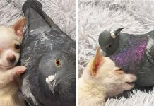 Flightless Pigeon Forms Adorable Friendship With Tiny Puppy Who Can't Walk