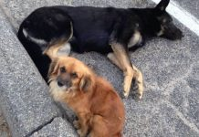 Dog Refuses To Leave His Injured Pregnant Friend's Side Until Help Arrives – Paws Planet – World Animal News
