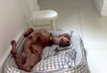 Deaf Dachshund Overcomes Early Life of Negligence and Misery to Become a Very Happy Dog -