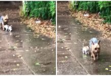Dog Stumbles Upon Abandoned Kitten in Rain During Potty Break -