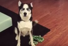 "Husky Scolded for Making Mess Throws an ""Oscar-Winning"" Tantrum -"