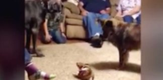 Little Chihuahua intimidates Great Dane -