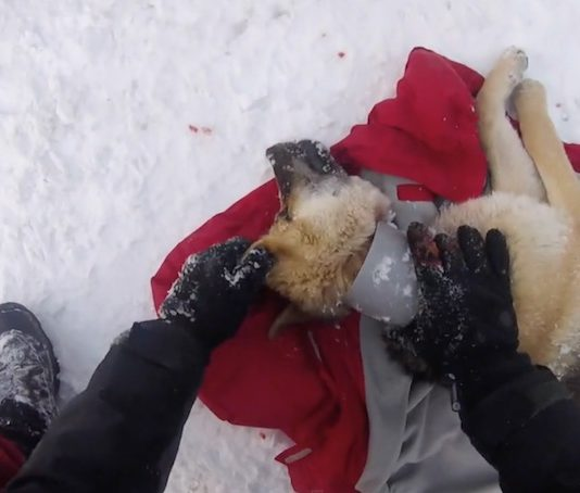 Veterinarian Rushes to Save Stray Dog Living With Plastic Pipe Around His Neck -