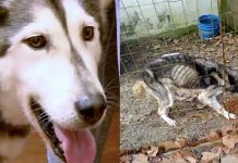 Husky Left Outside In Muddy Crate, Forced To Eat Trash And Rocks To Survive!