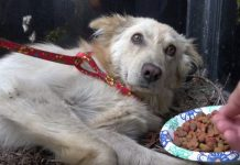 Rescuers Spot Golden Retriever That Was Kicked So Hard He Barely Survived -