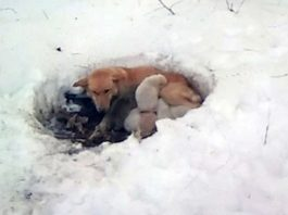 Stray Mama Dog Found Lying in Foot of Snow, Protecting Her Puppies from the Cold -