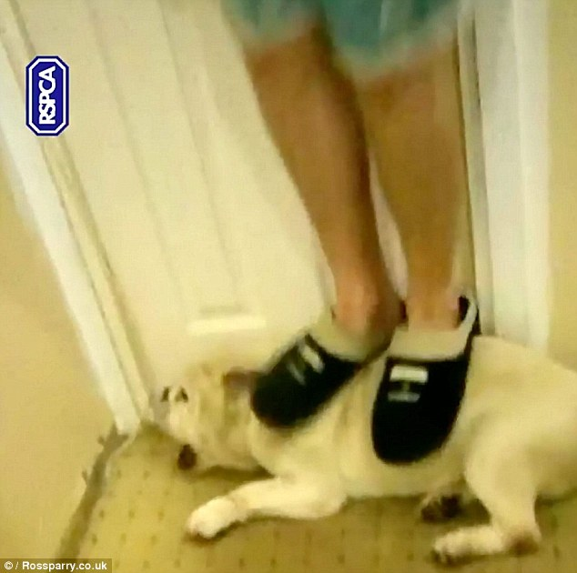 Shocking scene: The 22-year-old laughing thug was seen headbutting his pet bulldog Baby and jumping on it