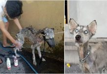 Man saves starving husky just in time – now she's unrecognizable
