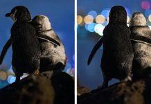 Two Widowed Penguins Enjoy The Skyline Together In Australia