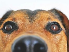 Sniffer dogs are being trained to detect coronavirus