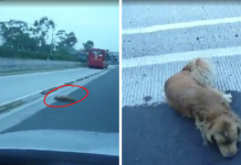 Good Samaritan Pulls Truck Over in the Middle of a Highway to Save Dumped Dog Hit by a Car -