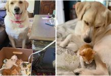 Giant Dog Adopts Tiny Orphaned Kittens And Raises Them As Her Own – Paws Planet – World Animal News