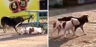 "Stray Dog Worries About ""Abandoned"" Dog Tied To A Fence, Proceeds To Set Him Free"