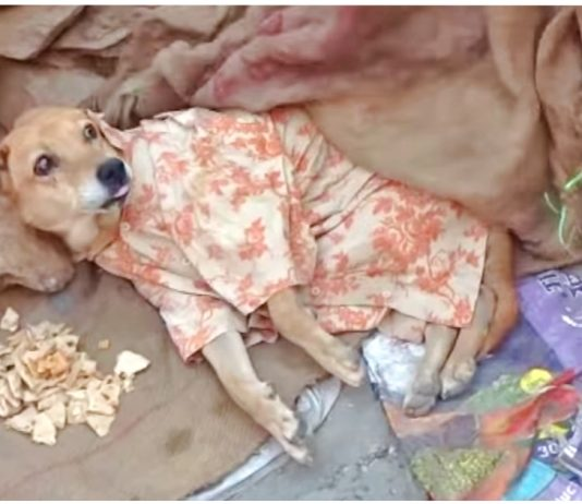 Woman Couldn't Afford to Take Paralyzed Stray Dog at the Vet's, but She Dressed Him and Called for Help -