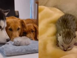 Golden retrievers and husky greet their new kitten sibling after she's born