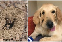 Heroic dog sees rattlesnake during walk and gets bitten to protect his owner