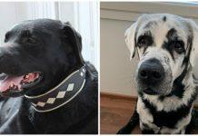 Black lab completely transforms as vitiligo turns his fur white