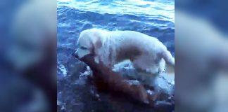 Video captures golden retriever saving drowning baby deer