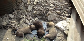 3 Tiny Puppies Were Found Trapped in Rock-Solid Tar Unable to Move an Inch -