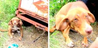 Disabled Puppy Is Rescued After Being Chained To An Old Truck And Left To Starve For Ten Days – Paws Planet – World Animal News