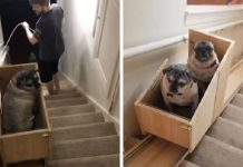 Woman Builds A Custom Stairlift To Help Her Elderly Dogs Climb Stairs Easier – Paws Planet – World Animal News