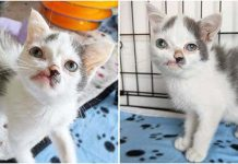Kitten With Twisted Face Wants Someone To Love Him Just As He Is – Paws Planet – World Animal News