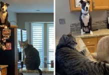 This Rescue Pit Bull Thinks He Is A Cat, And His Family Keeps Sharing Pics That Prove It – Paws Planet – World Animal News