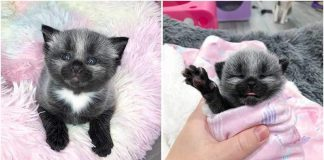 Rescued Kitten Has An Unusual Silver Coat That Makes Her Look Like A Tiny Baby Raccoon
