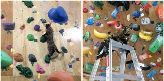 Rescue Cat Working At Rock Climbing Gym Decides To Give It A Try