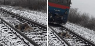 Injured Dog Was Unable To Move From A Moving Train, But His Brave Friend Came To Rescue Him