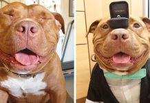 Shelter Pit Bull Won't Stop Smiling After Being Rescued And Adopted By Loving Owners