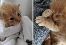 Tiny Kitten Refuses To Leave Family That Saved And Nursed Him Back To Health