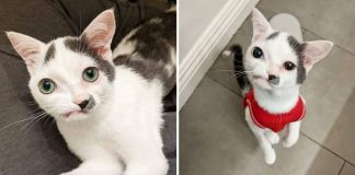 Kitten Melts Everyone's Hearts With His Perfectly Imperfect Face And Beautiful Heart