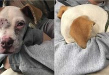 Abused Puppy Is Rescued, Burying His Head In Human's Arms