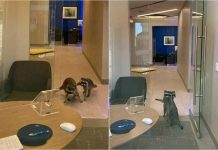 Two Raccoons Become Intruders Of A Bank In California