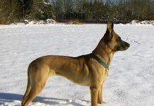 belgian Malinois Mix Dog Breed